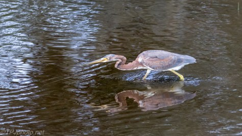Tricolored Heron, Fishing - click to enlarge