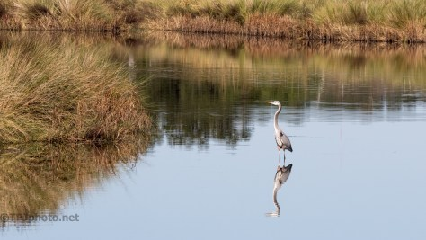Great Blue Heron, Reflections - click to enlarge