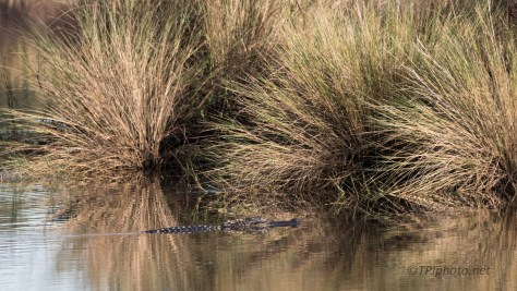 Alligators, Out And About - click to enlarge