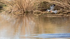 Kingfisher Fishing - click to enlarge