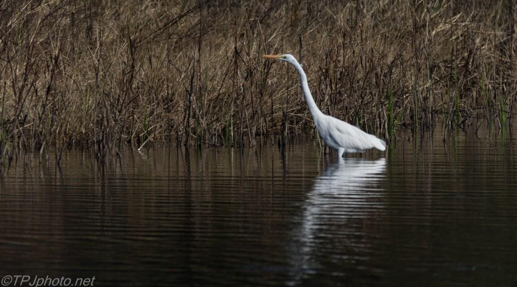 Great Egret Stalking - click to enlarge