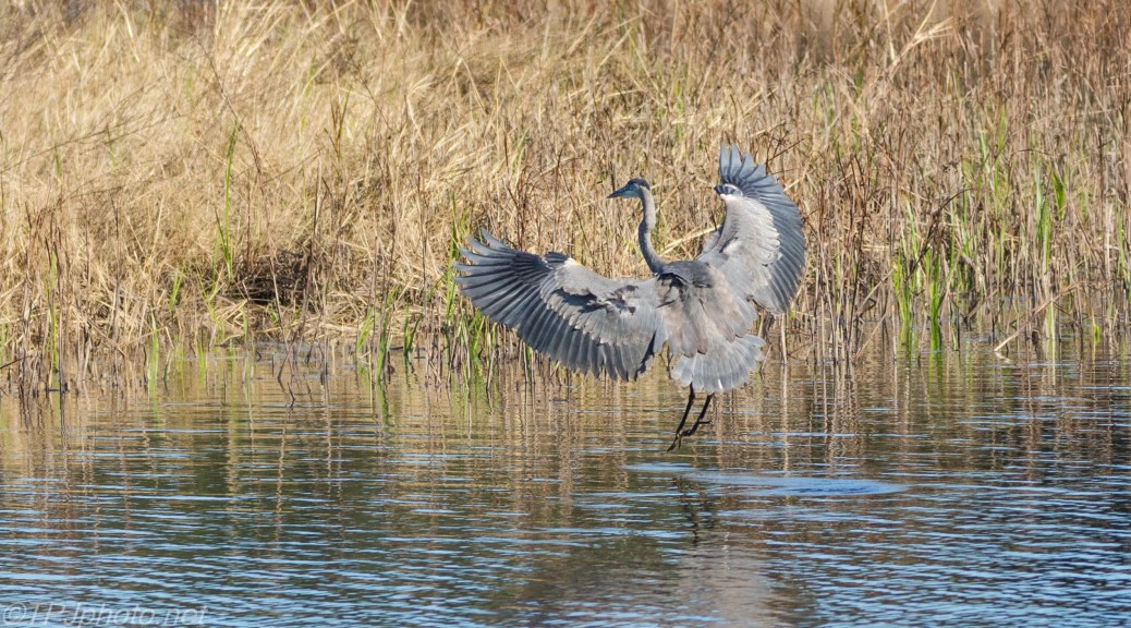 Heron landing, Hardly A Ripple - click to enlarge