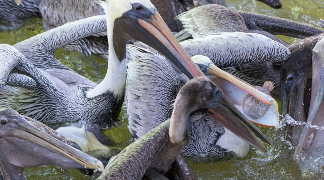 In The Middle Of A Pelican Lunch - click to enlarge