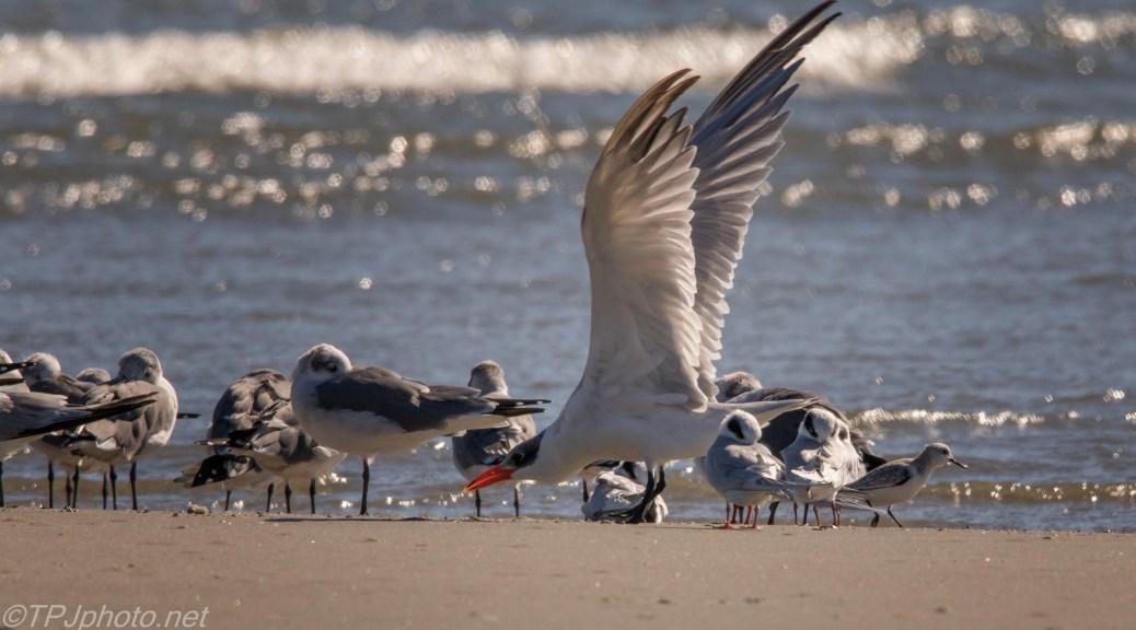 Dancing Tern - click to enlarge