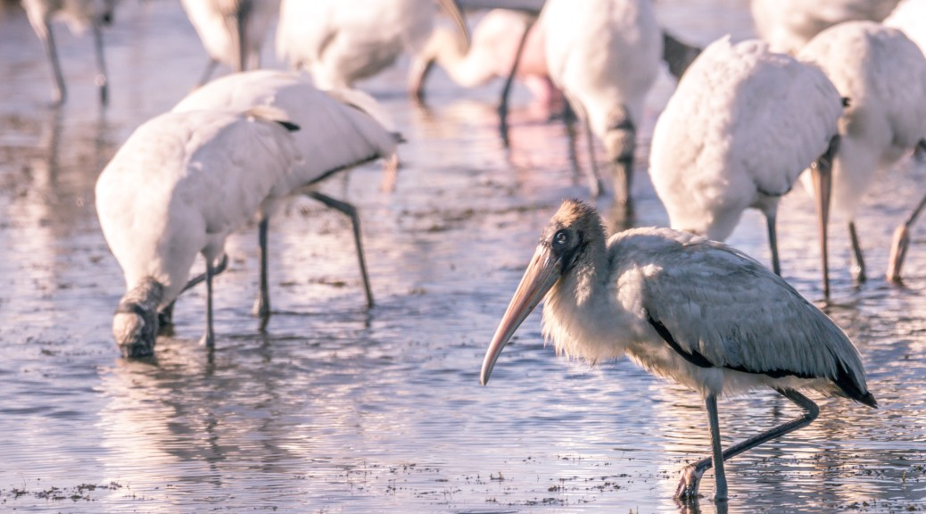 Young Wood Stork, On The Edge Of The Flock - click to enlarge