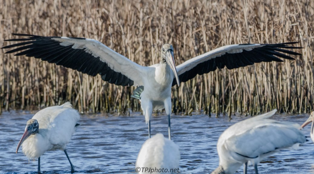 Wood Stork Full Wing Span - click to enlarge