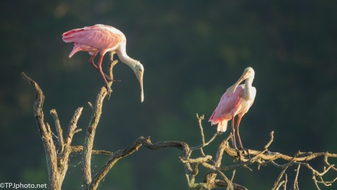 Morning Spoonbills - click to enlarge