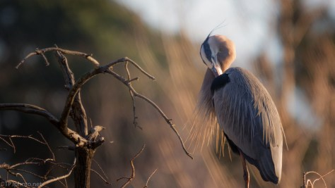Heron, Morning Sun - click to enlarge