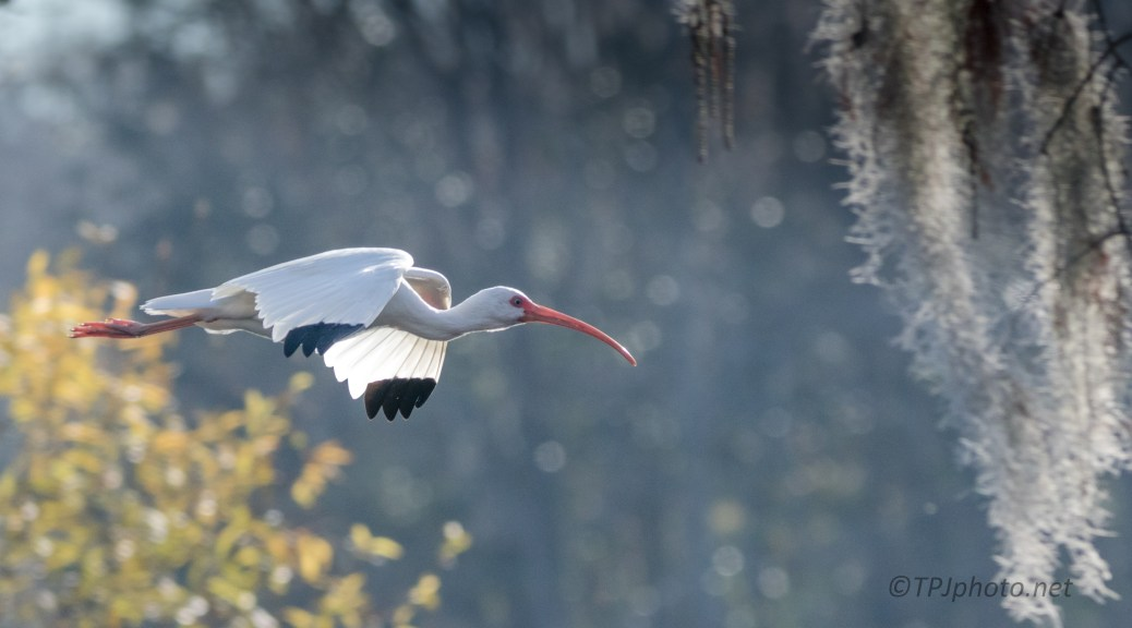 White Ibis, In A Hurry - click to enlarge