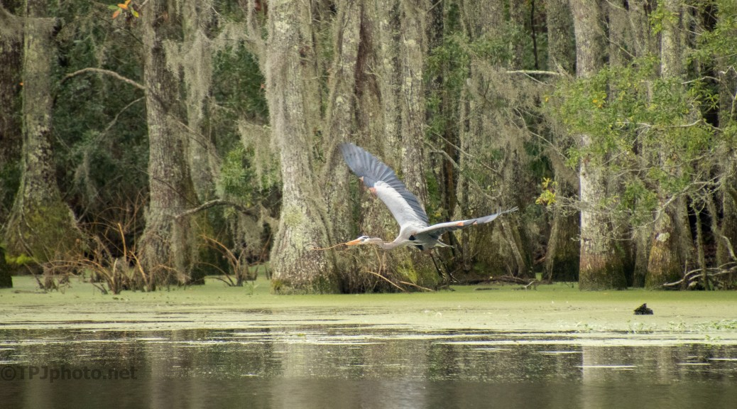 Low Over The Swamp, Great Blue Heron - click to enlarge