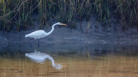 Great Egret In Low Tide - click to enlarge