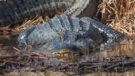 Down At His Level, Alligator - click to enlarge