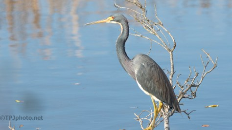 Tricolored Heron, Marsh - click to enlarge