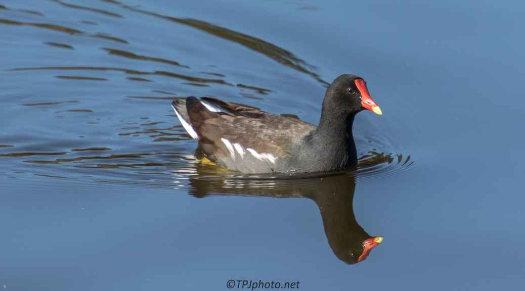 Gallinule - click to enlarge