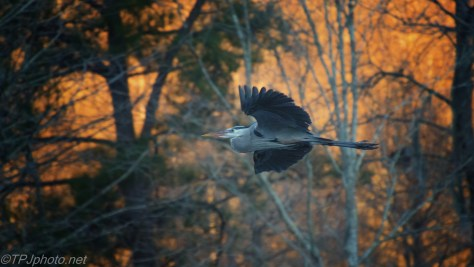 Sunset Great Blue Heron - click to enlarge