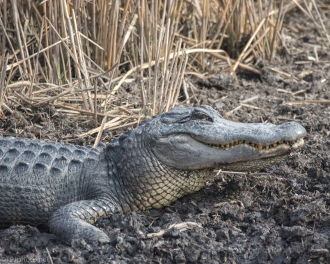 Looks A Little Too Happy, Alligator - click to enlarge