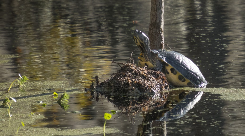 Yep, A Turtle - click to enlarge