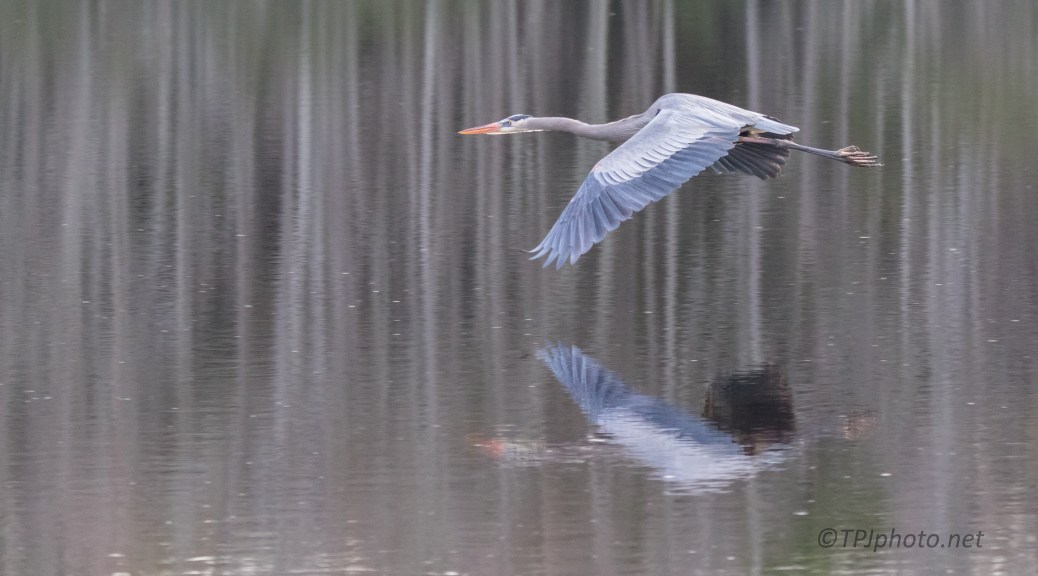 In Flight Reflections, Heron - click to enlarge