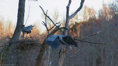 Taking Flight, Great Blue Heron - click to enlarge