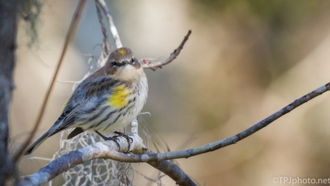 Yellow-rumped Warbler, Portraits - click to enlarge