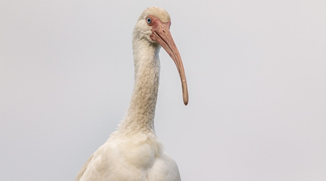 White Ibis, Head Shot - click to enlarge