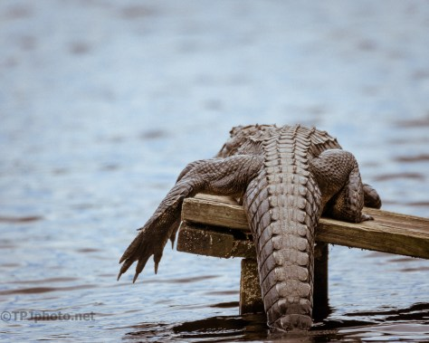 Different Perspective, Alligator - click to enlarge