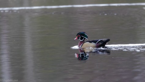 The One We All Look For, Wood Duck - click to enlarge
