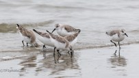 Many Peeps (Or Shore Birds) - click to enlarge