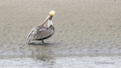 Brown Pelican, Dressed For The Ladies - click to enlarge