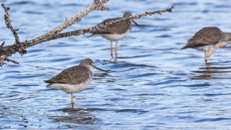 Group Of Yellow Legs - click to enlarge