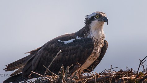 Osprey On Palm - click to enlarge