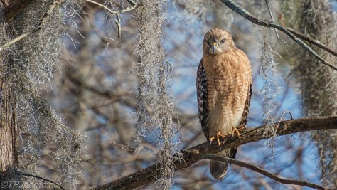 Red-shouldered Hawk, Spanish Moss - click to enlarge