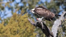 Osprey With Catch - click to enlarge