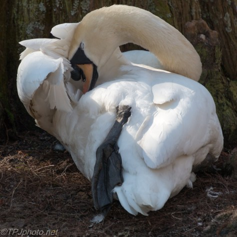 It's Going To Hurt When He Wakes Up, Swan - click to enlarge