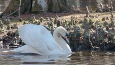 Territory Dispute, Mute Swan - click to enlarge