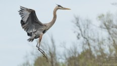 Great Blue Heron Landing By The Nest - click to enlarge