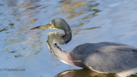 Tricolored Heron Under Foot - click to enlarge