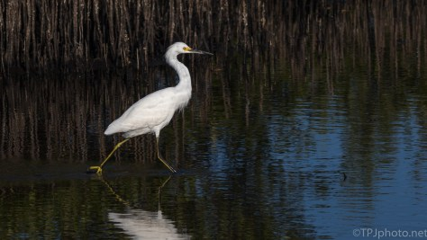 Snowy Egret, With Attitude - click to enlarge