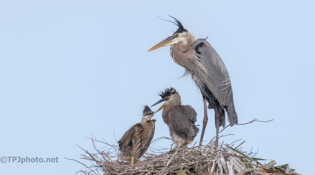 Great Blue Family Portrait - click to enlarge