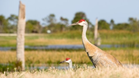 Sandhill Cranes - click to enlarge