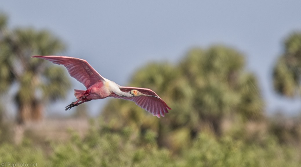 Spoonbill Leaving A Rookery - click to enlarge