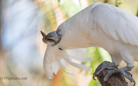 Wild And Crazy Guy, Cockatoo - click to enlarge
