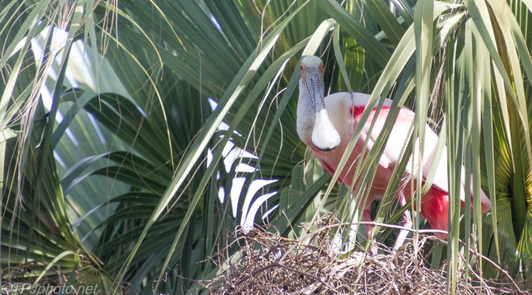 Looked Up, And A Spoonbill Nest - click to enlarge