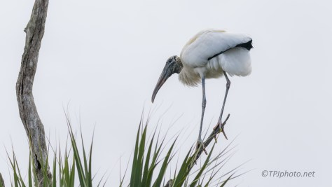 Small Branch For A Wood Stork - click to enlarge