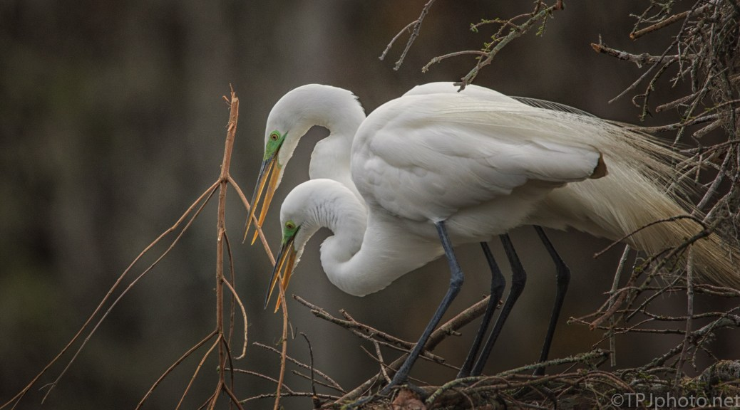 Nesting, Great Egrets - click to enlarge