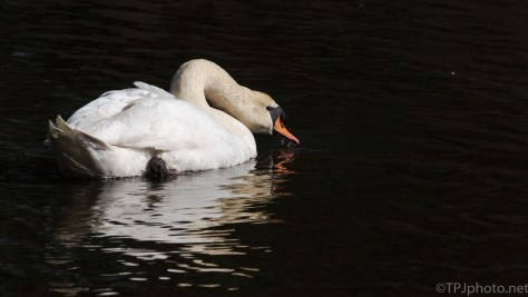 Swan In The Shadows - click to enlarge