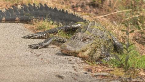 A Mom, Alligator - click to enlarge