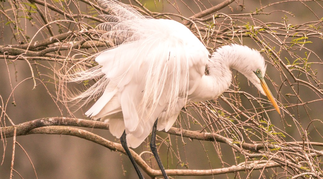 Egret Getting Ready To Dance - click to enlarge