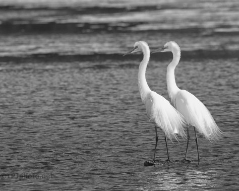 Great Egret Pair, B&W - click to enlarge