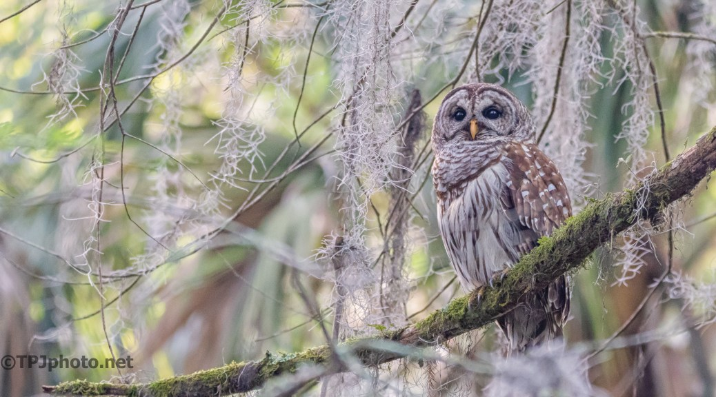 Barred Owl In Spanish Moss - click to enlarge